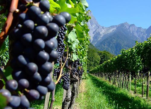Bild von Weintrauben in Landschaft